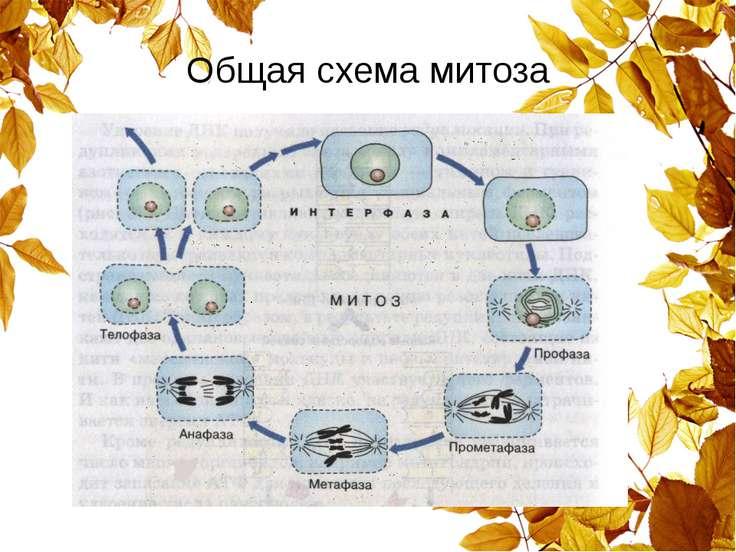 Общая схема митоза
