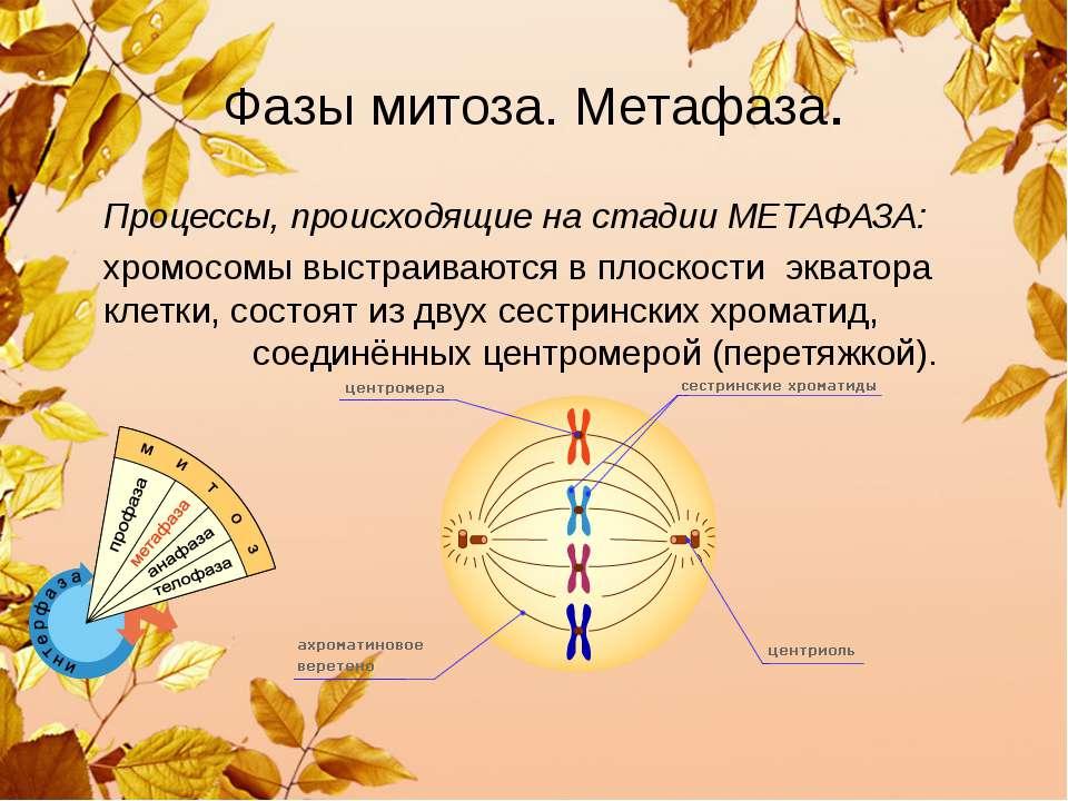 Фазы митоза. Метафаза. Процессы, происходящие на стадии МЕТАФАЗА: хромосомы в...