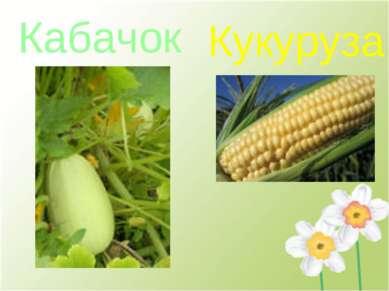 Кабачок Кукуруза