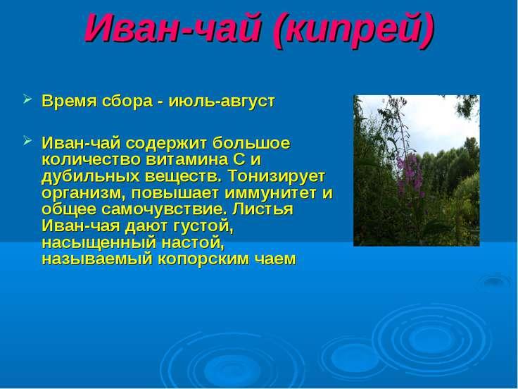 Иван-чай (кипрей) Время сбора - июль-август Иван-чай содержит большое количес...