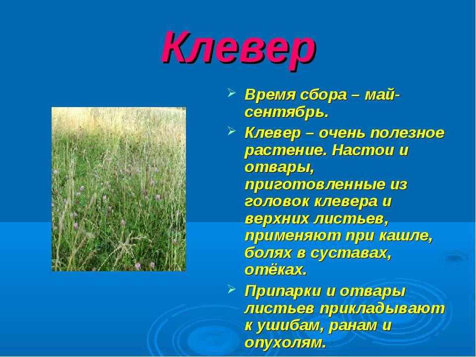 Клевер Время сбора – май- сентябрь. Клевер – очень полезное растение. Настои ...