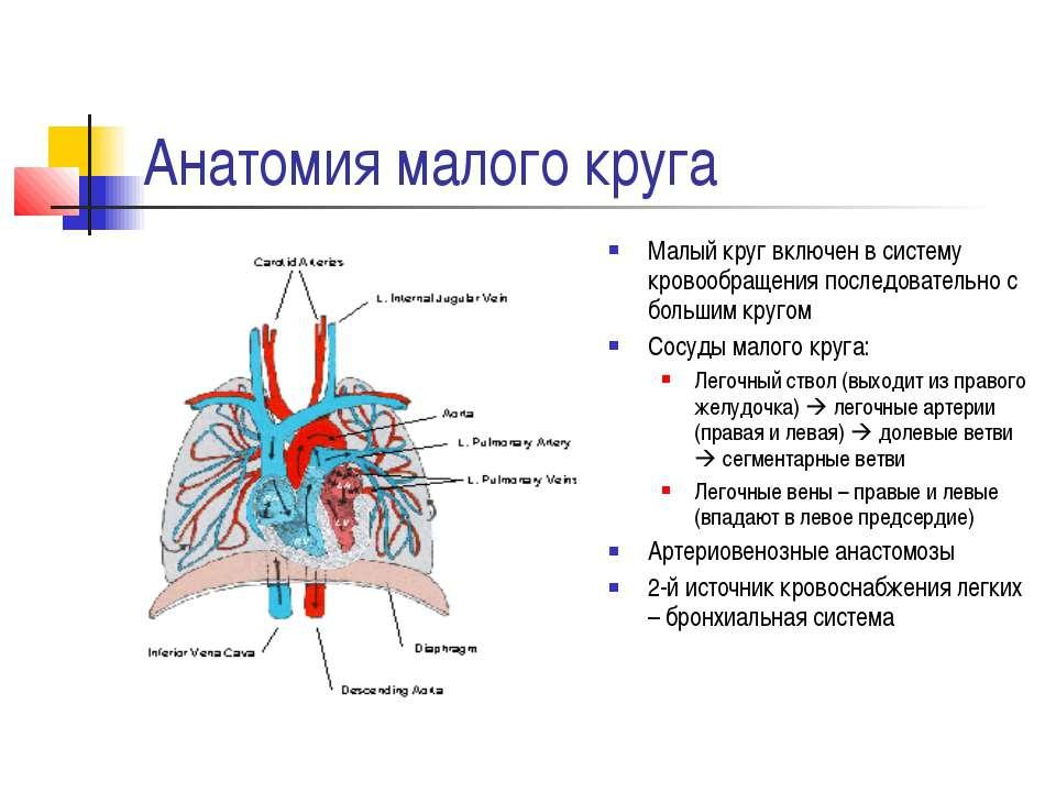 Анатомия малого круга Малый круг включен в систему кровообращения последовате...