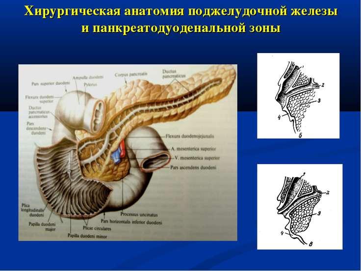 Хирургическая анатомия поджелудочной железы и панкреатодуоденальной зоны
