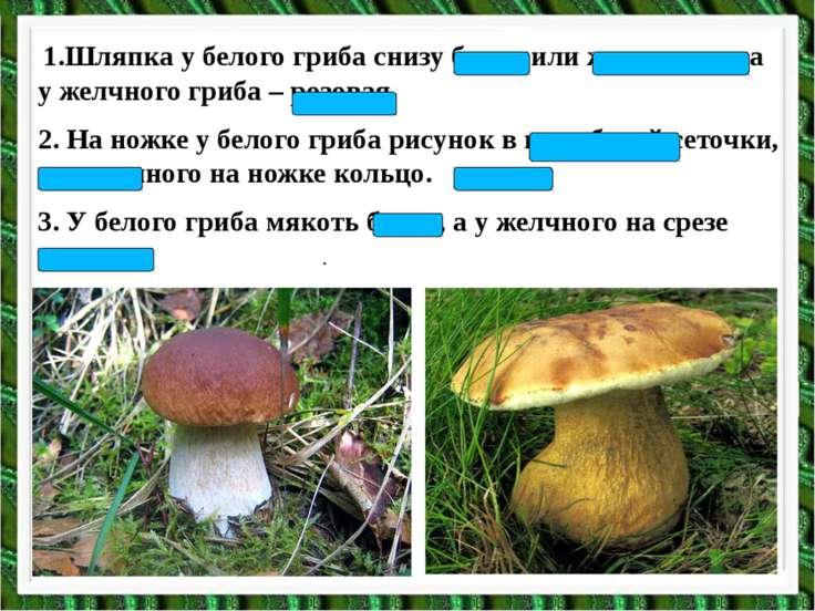 1.Шляпка у белого гриба снизу белая или желтоватая, а у желчного гриба – розо...