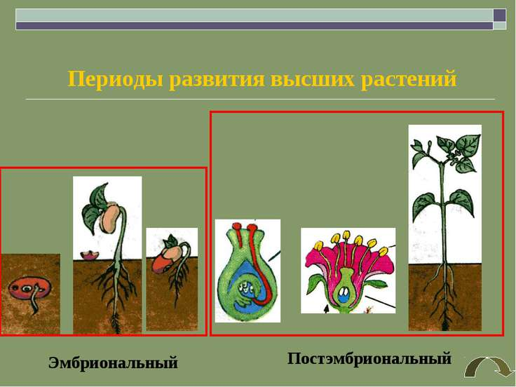 Эмбриональный Постэмбриональный Периоды развития высших растений