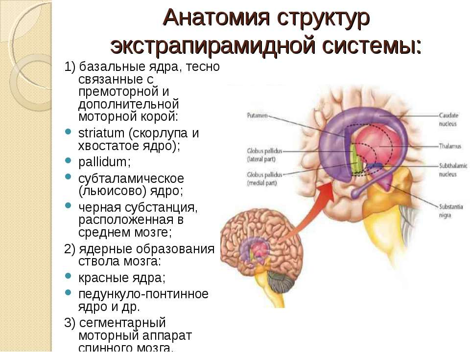 Анатомия структур экстрапирамидной системы: 1) базальные ядра, тесно связанны...