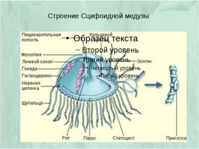 Строение Сцифоидной медузы