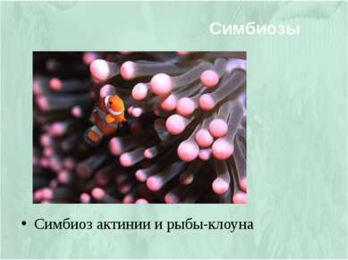 Симбиоз актинии и рыбы-клоуна Симбиозы