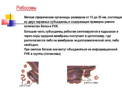 Рибосомы Мелкие сферические органоиды размером от 15 до 35 нм, состоящие из д...