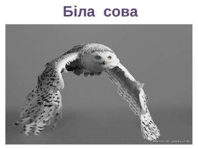 Біла сова