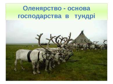 Оленярство - основа господарства в тундрі