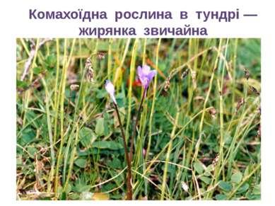 Комахоїдна рослина в тундрі — жирянка звичайна