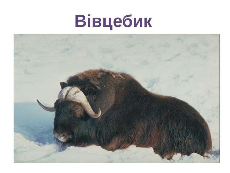 Вівцебик