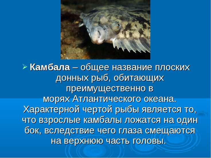 Камбала– общее название плоских донных рыб, обитающих преимущественно в моря...