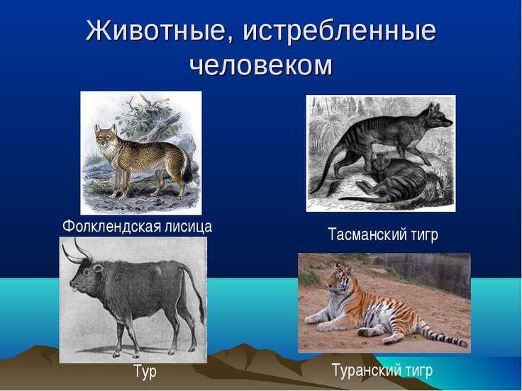 Животные, истребленные человеком Тур Фолклендская лисица Тасманский тигр Тура...