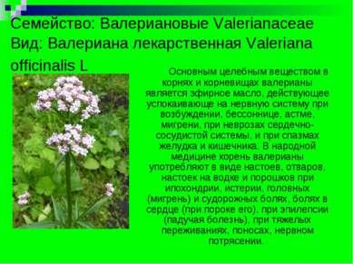 Семейство: Валериановые Valerianaceае Вид: Валериана лекарственная Valeriana ...