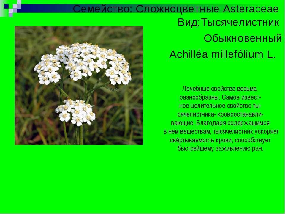 Семейство: Сложноцветные Asteraceae Вид:Тысячелистник Обыкновенный Achilléa m...