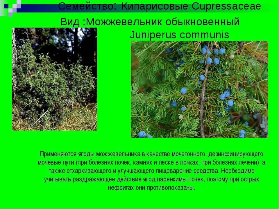 Семейство: Кипарисовые Cupressaceae Вид :Можжевельник обыкновенный Juniperus ...