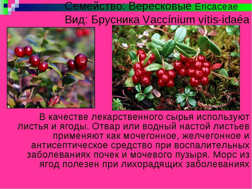 Семейство: Вересковые Ericaceae Вид: Брусника Vaccínium vítis-idaéa В качеств...