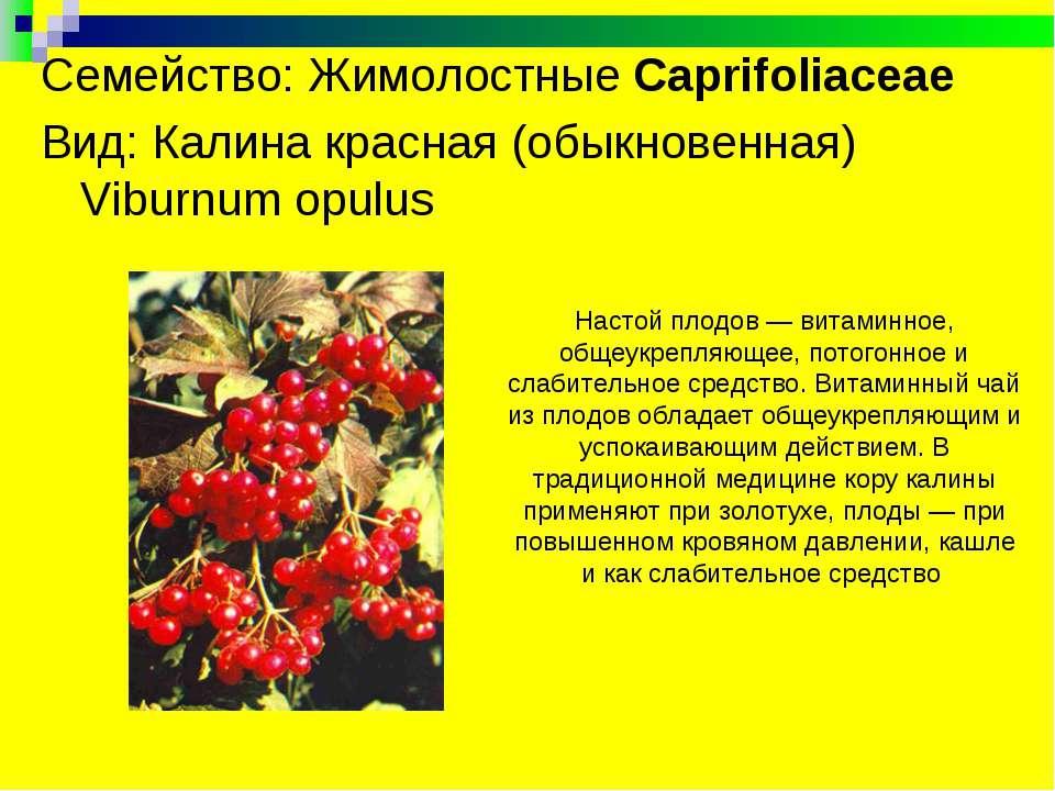 Семейство: Жимолостные Caprifoliaceae Вид: Калина красная (обыкновенная) Vib...