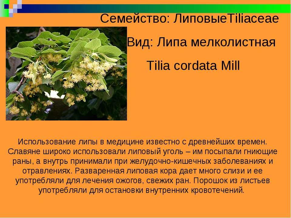 Семейство: ЛиповыеTiliaceae Вид: Липа мелколистная Tilia cordata Mill Использ...