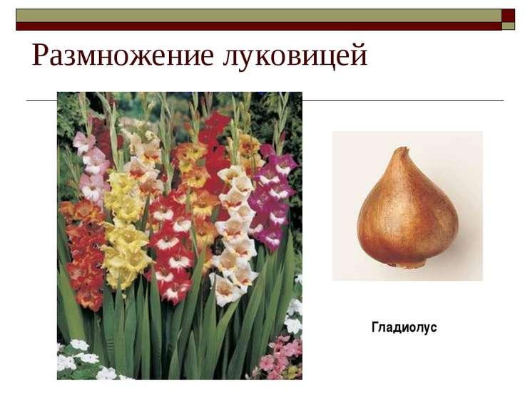 Размножение луковицей Гладиолус