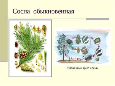 Сосна обыкновенная Жизненный цикл сосны