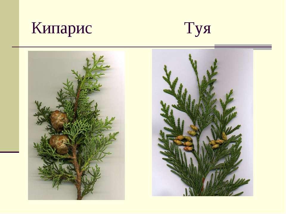 Кипарис Туя