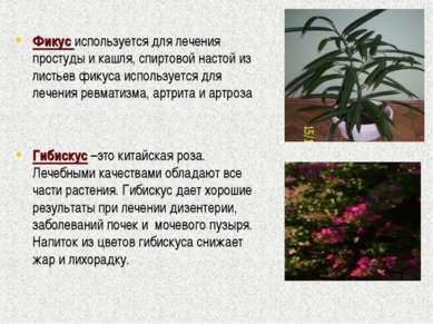 Фикус используется для лечения простуды и кашля, спиртовой настой из листьев ...