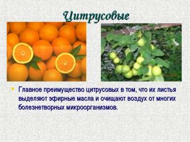 Цитрусовые Главное преимущество цитрусовых в том, что их листья выделяют эфир...