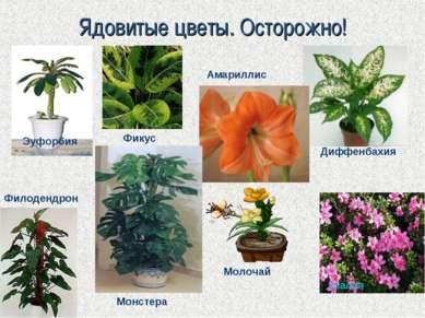 Ядовитые цветы. Осторожно! Эуфорбия Диффенбахия Азалия Амариллис Филодендрон ...