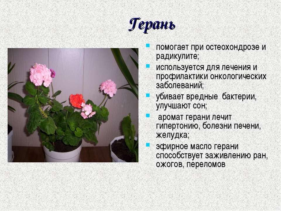 Герань помогает при остеохондрозе и радикулите; используется для лечения и пр...
