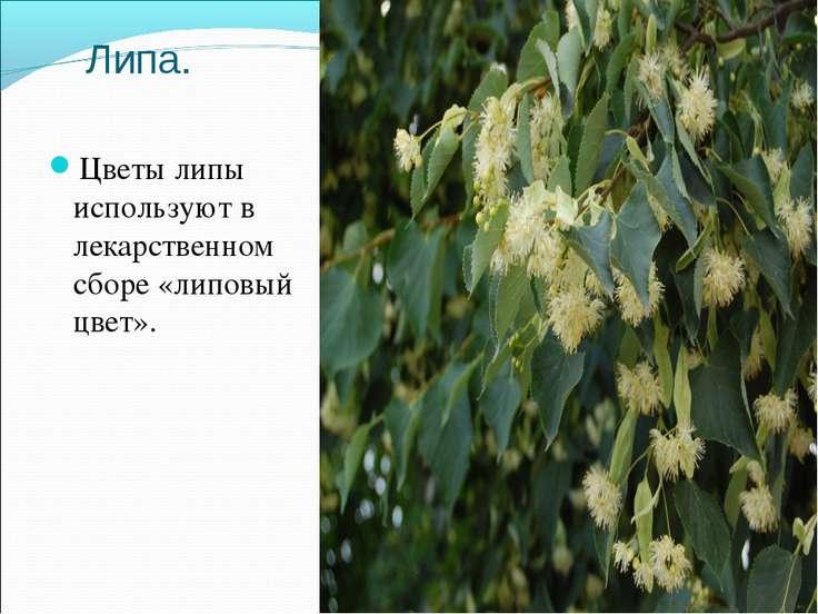 Липа. Цветы липы используют в лекарственном сборе «липовый цвет».