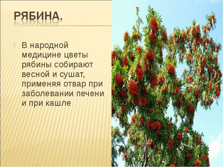 В народной медицине цветы рябины собирают весной и сушат, применяя отвар при ...