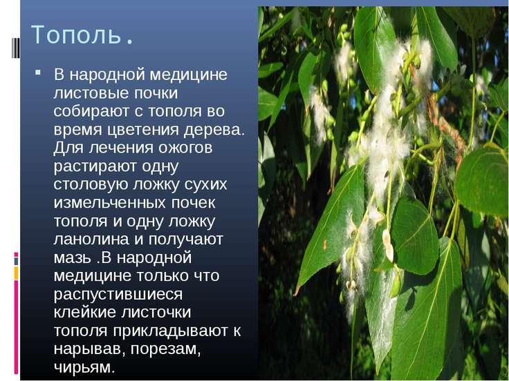 Тополь. В народной медицине листовые почки собирают с тополя во время цветени...