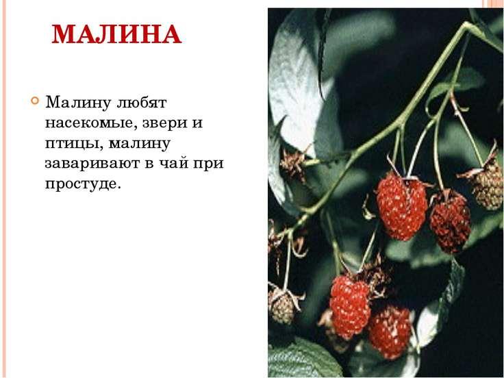 МАЛИНА Малину любят насекомые, звери и птицы, малину заваривают в чай при про...