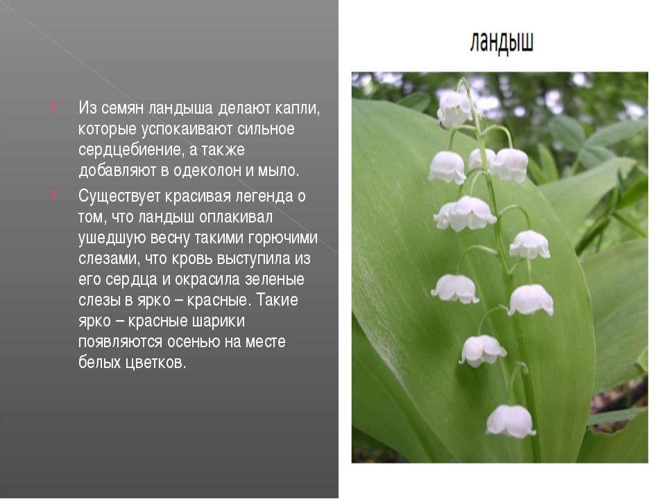 Из семян ландыша делают капли, которые успокаивают сильное сердцебиение, а та...