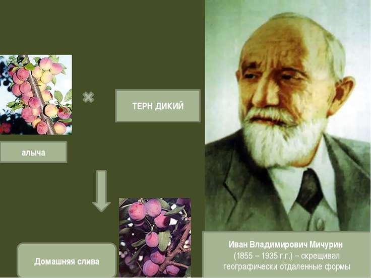 Иван Владимирович Мичурин (1855 – 1935 г.г.) – скрещивал географически отдале...