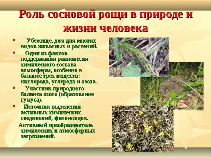 Роль сосновой рощи в природе и жизни человека  Убежище, дом для многих вид...