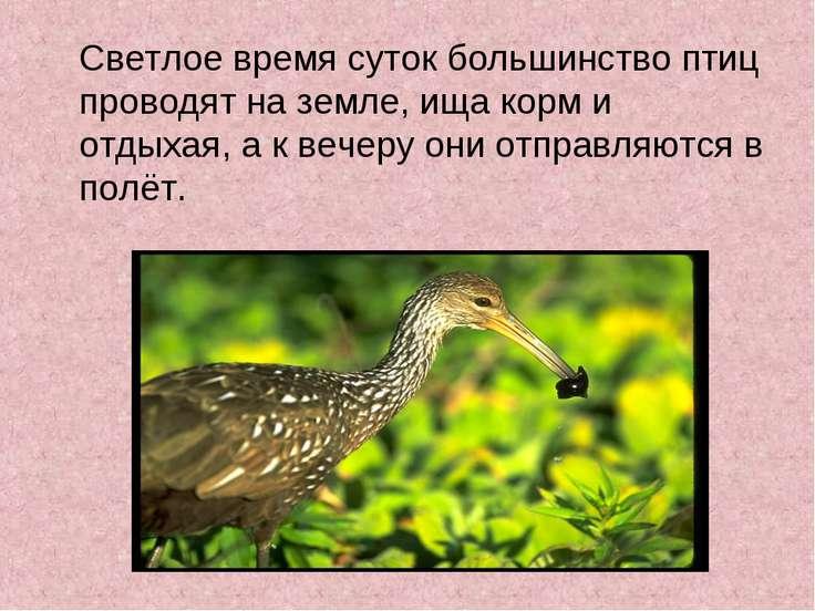 Светлое время суток большинство птиц проводят на земле, ища корм и отдыхая, а...