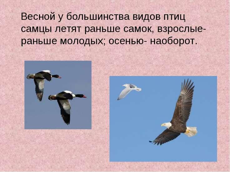 Весной у большинства видов птиц самцы летят раньше самок, взрослые- раньше мо...
