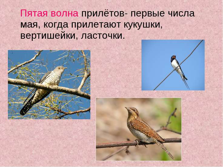 Пятая волна прилётов- первые числа мая, когда прилетают кукушки, вертишейки, ...