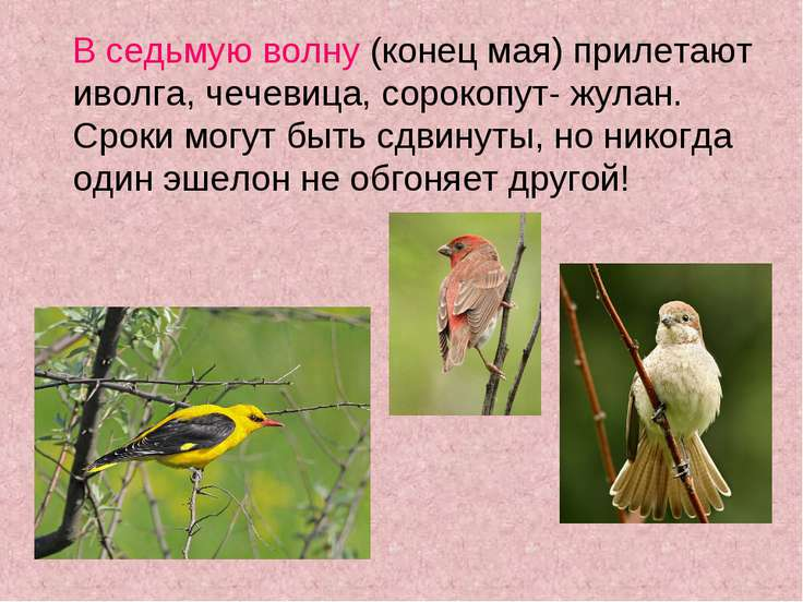 В седьмую волну (конец мая) прилетают иволга, чечевица, сорокопут- жулан. Сро...
