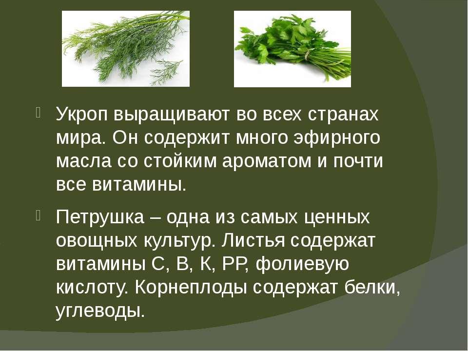 Укроп выращивают во всех странах мира. Он содержит много эфирного масла со ст...