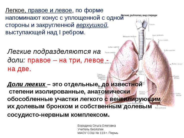 Объясните почему число долей в правом и левом лёгком человека неодинаково