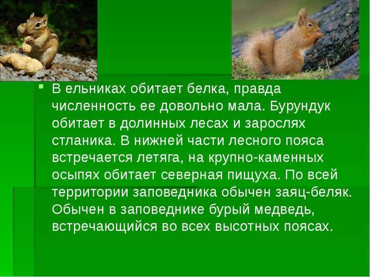 В ельниках обитает белка, правда численность ее довольно мала. Бурундук обита...
