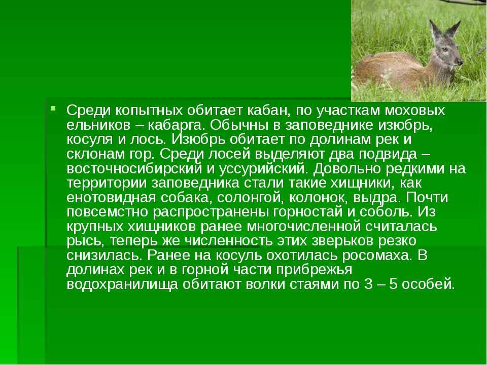 Среди копытных обитает кабан, по участкам моховых ельников – кабарга. Обычны ...