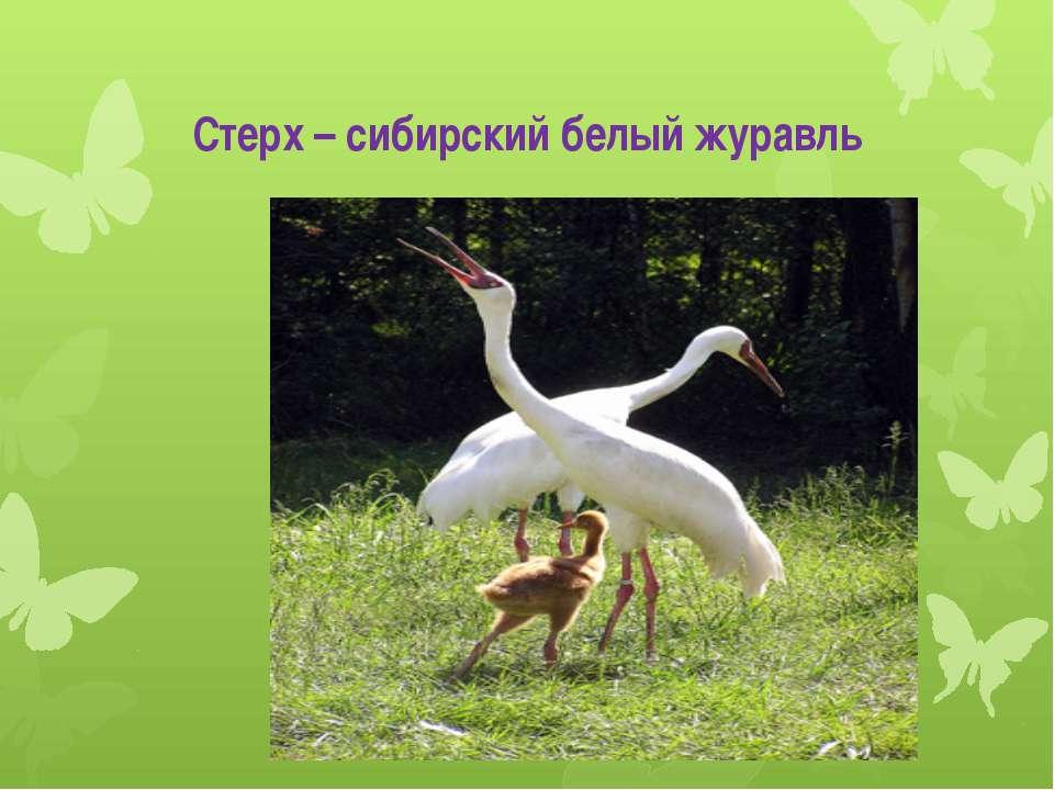 Стерх – сибирский белый журавль