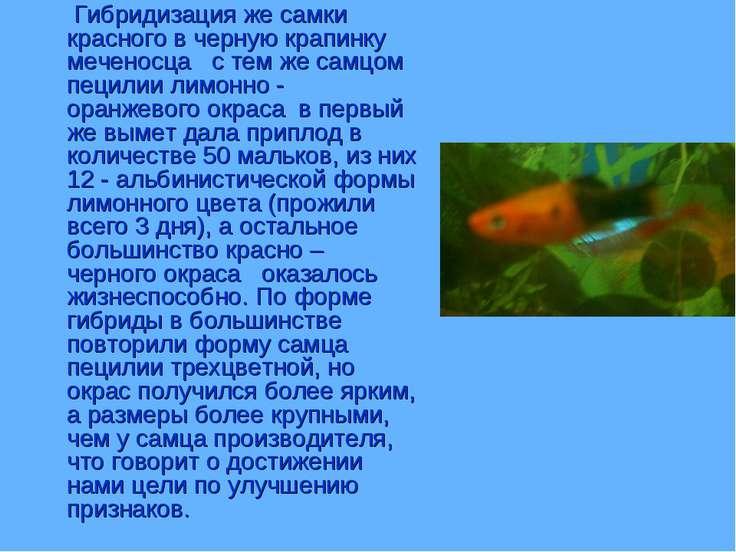Гибридизация же самки красного в черную крапинку меченосца с тем же самцом пе...