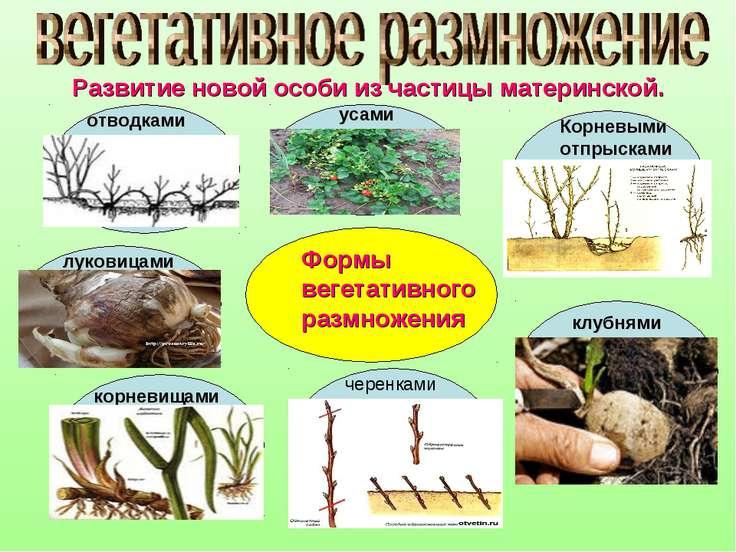 Развитие новой особи из частицы материнской. Формы вегетативного размножения ...